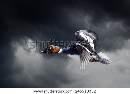 Female Goldeneye Duck Flying