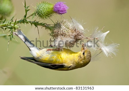 Female goldfinch clinging upside down to bull thistle to dig for seeds - stock photo