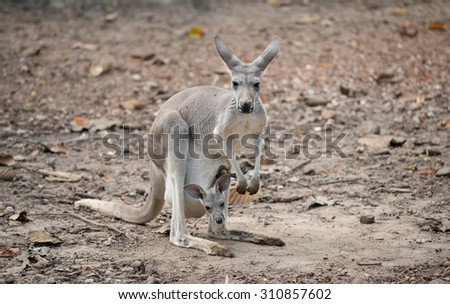 female gray kangaroo with joey in pouch - stock photo