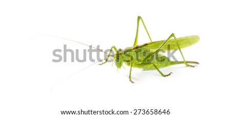Female Great Green Bush-Cricket, Ettigonia viridissima in front of a white background - stock photo