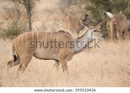 Female Greater Kudu (Tragelaphus strepsiceros), South Africa