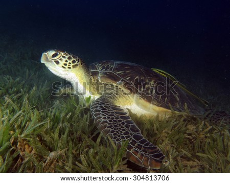 Female green turtle (Chelonia mydas) in seagrass meadow - stock photo