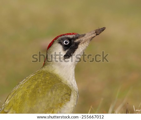 Female Green Woodpecker (Picus viridis) on ground (looking for ants)         - stock photo
