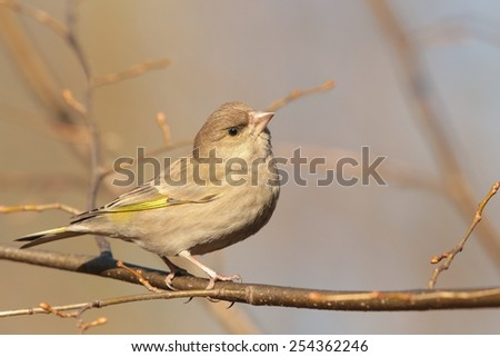 Female Greenfinch (Carduelis chloris) on a twig. - stock photo