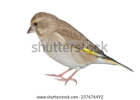 Female greenfinch isolated on white background - stock photo