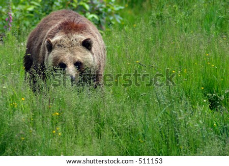 Female Grizzly in Meadow