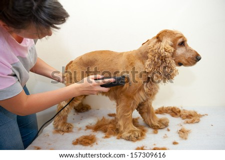 Female groomer haircut Cocker Spaniel - stock photo