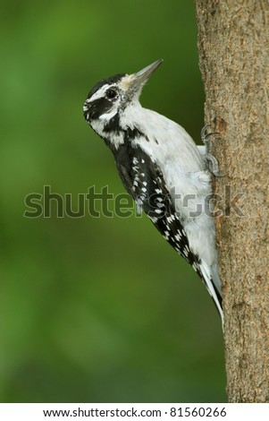 Female Hairy Woodpecker (Picoides villlosus) Clinging to Maple Tree - Ontario, Canada