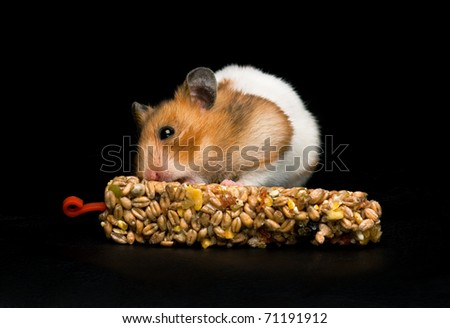 Female hamster with full cheeks, eating her favorite treat bar. Black background.