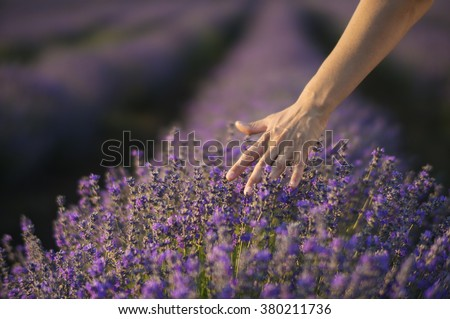 Female hand gently touching the tops of lavender bushes in bloom in a field of lavender. - stock photo