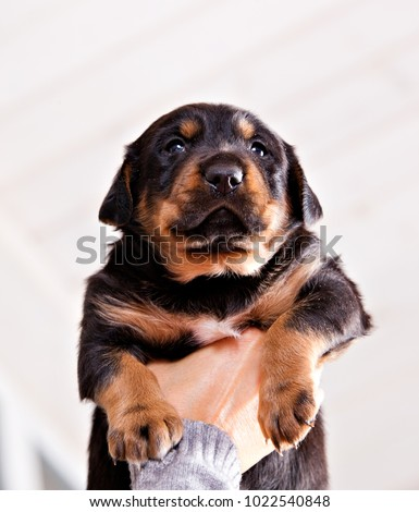 Must see Look Alike Chubby Adorable Dog - stock-photo-female-hand-holding-adorable-chubby-puppy-1022540848  Photograph_37682  .jpg