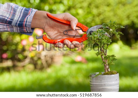 Female hand holding pruning shears trimming a branch of small bonsai tree.