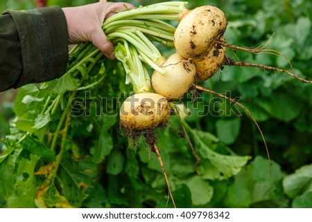 Female hand holding young turnips in closeup - stock photo