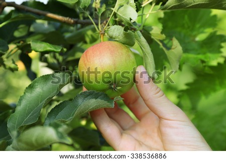 Female hand picking apple from tree - stock photo
