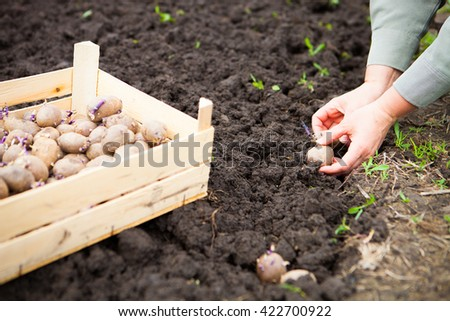 Female hand planting potato tubers into the soil. Close Up - stock photo