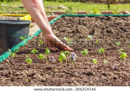 Female hand planting seedlings of Basil in the vegetable garden. Household plot. Dacha. - stock photo