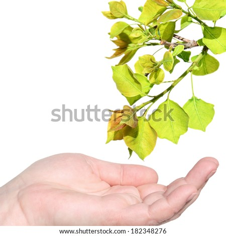 Female hand with the open palm reaching for a spring young tree branch with a green leave. Isolated on white - stock photo