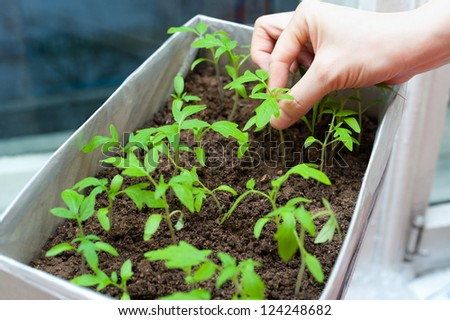 female hands hold young tomato seedlings in a box - stock photo