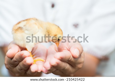 Female hands holding a chick in chicken farm. - stock photo