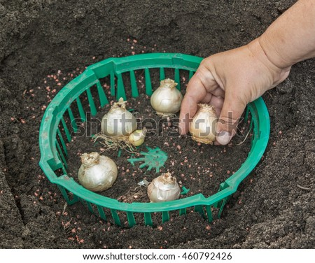 Female hands planting hyacinth bulbs in a basket on a bed