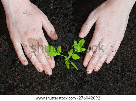 Female hands planting tomato seedlings Green shoots in the ground. - stock photo