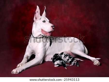 Female Harlequin Great Dane with Puppies - stock photo