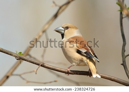 Female Hawfinch (Coccothraustes coccothrautes) on a twig. - stock photo