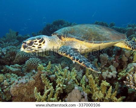 Female hawksbill turtle - stock photo