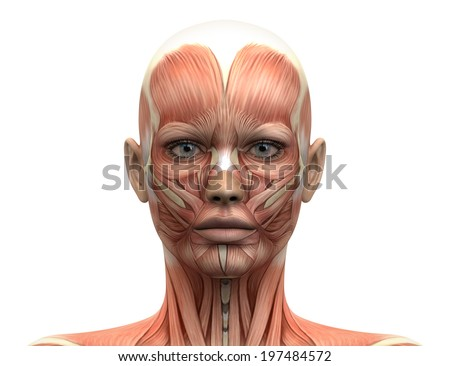 Female Head Muscles Anatomy - Front view - stock photo