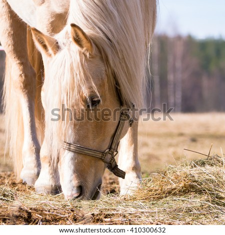 Female horse eating dry hay on the field in sunlight