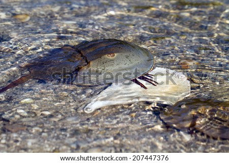 Female Horseshoe Crab on shell as a male approaches for mating - stock photo