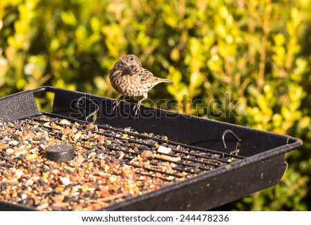 Female House Finch (Haemorhous mexicanus) perched on side of tray-type bird feeder looking curiously at camera. - stock photo