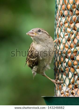 Female house sparrow sitting on bird feeder looking left - stock photo