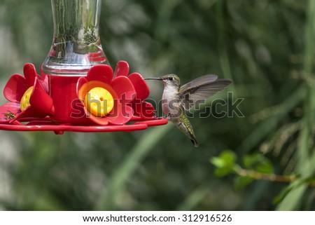 Female Hummingbird at a Backyard Feeder - stock photo
