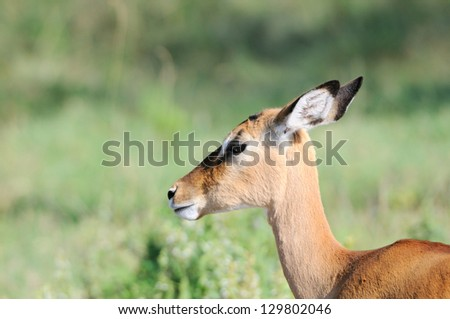 Female impala antelope in the masai mara reserve in kenya africa
