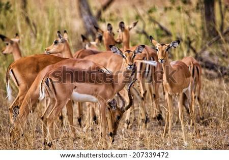 Female impala antelopes, Kruger National Park, South Africa - stock photo