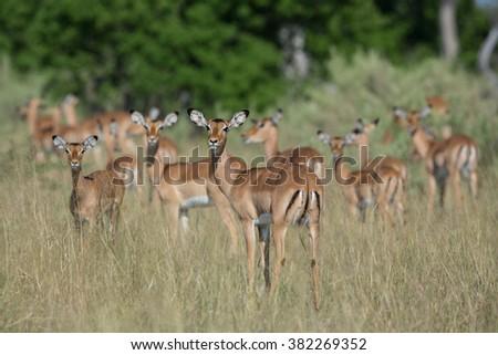 Female Impala herd in Etosha National Park in Namibia - stock photo