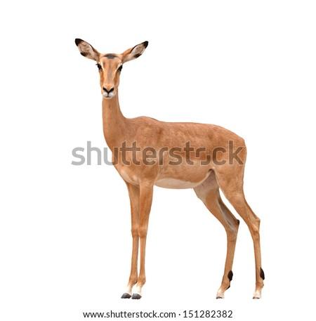 female impala isolated on a whte background - stock photo