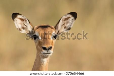 Female Impala, Serengeti, Tanzania - stock photo