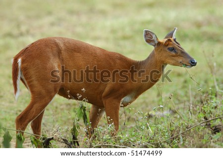 Female Indian Muntjac Deer in Khao Yai National Park, Thailand - stock photo