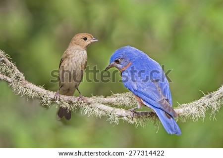 Female Indigo Bunting and Male Eastern Bluebird on Branch - stock photo