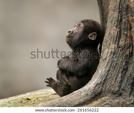 Female infant western lowland gorilla by tree - stock photo