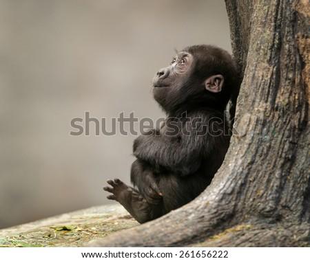 Female infant western lowland gorilla by tree - stock photo