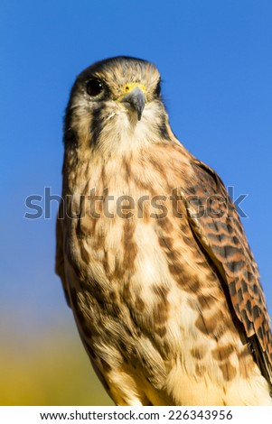 Female Kestrel Falcon perched on tree branch in early morning sunlight with clear blue sky - stock photo