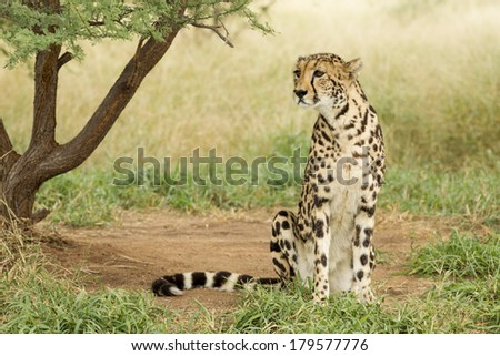 Female King Cheetah sitting up South Africa - stock photo