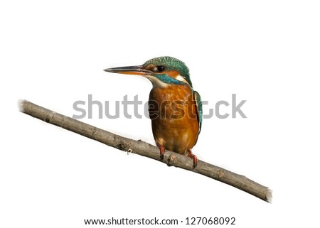 Female kingfisher on a branch isolated on a white background