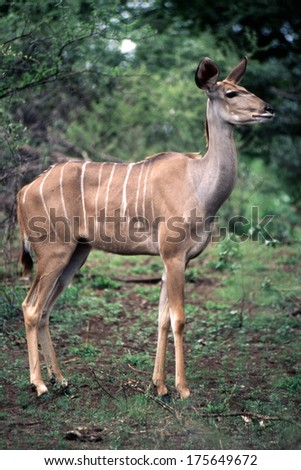 female kudu taken in the kruger national park