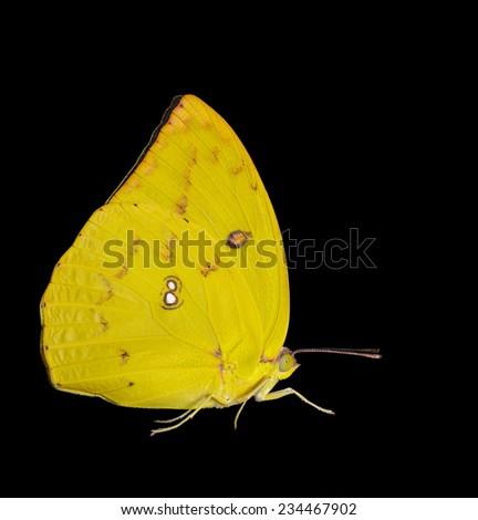 Female Lemon emigrant butterfly isolated on black  - stock photo