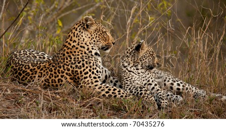 Female leopard and her cub - stock photo