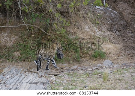 Female Leopard carry a very young cub